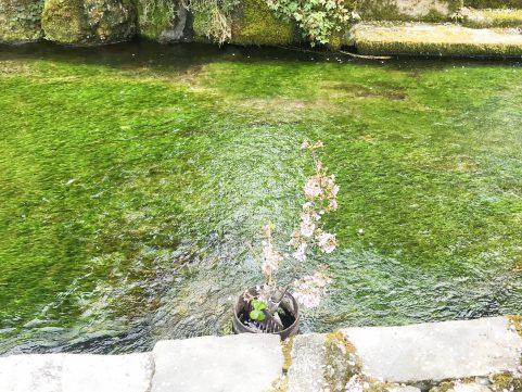 醒ヶ井ポタ 梅花藻