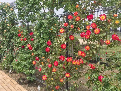庄堺公園のバラ2020 赤いつるバラ