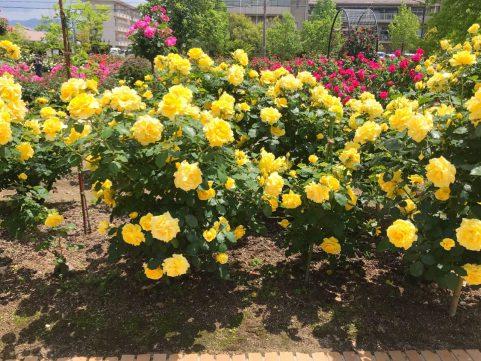 庄堺公園のバラ2020 黄色